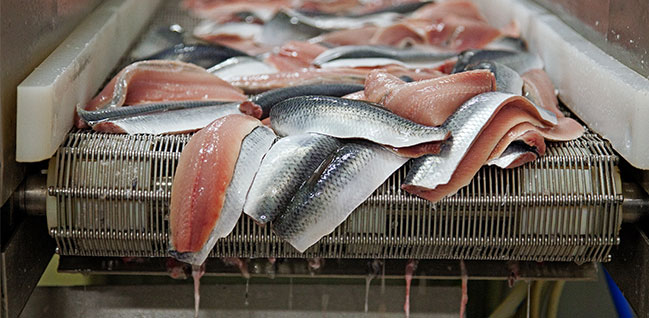 About 500 tonnes of herring can be filleted per day